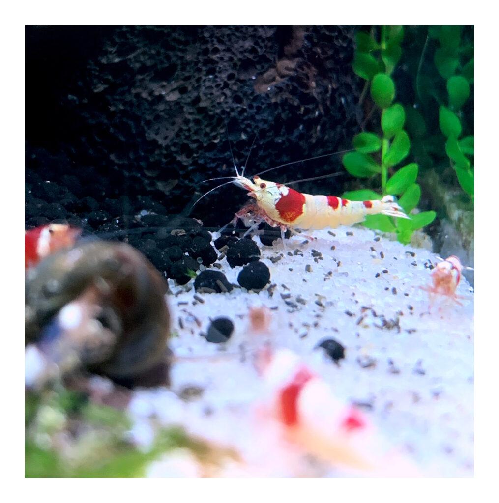 Red Bee Garnele K12