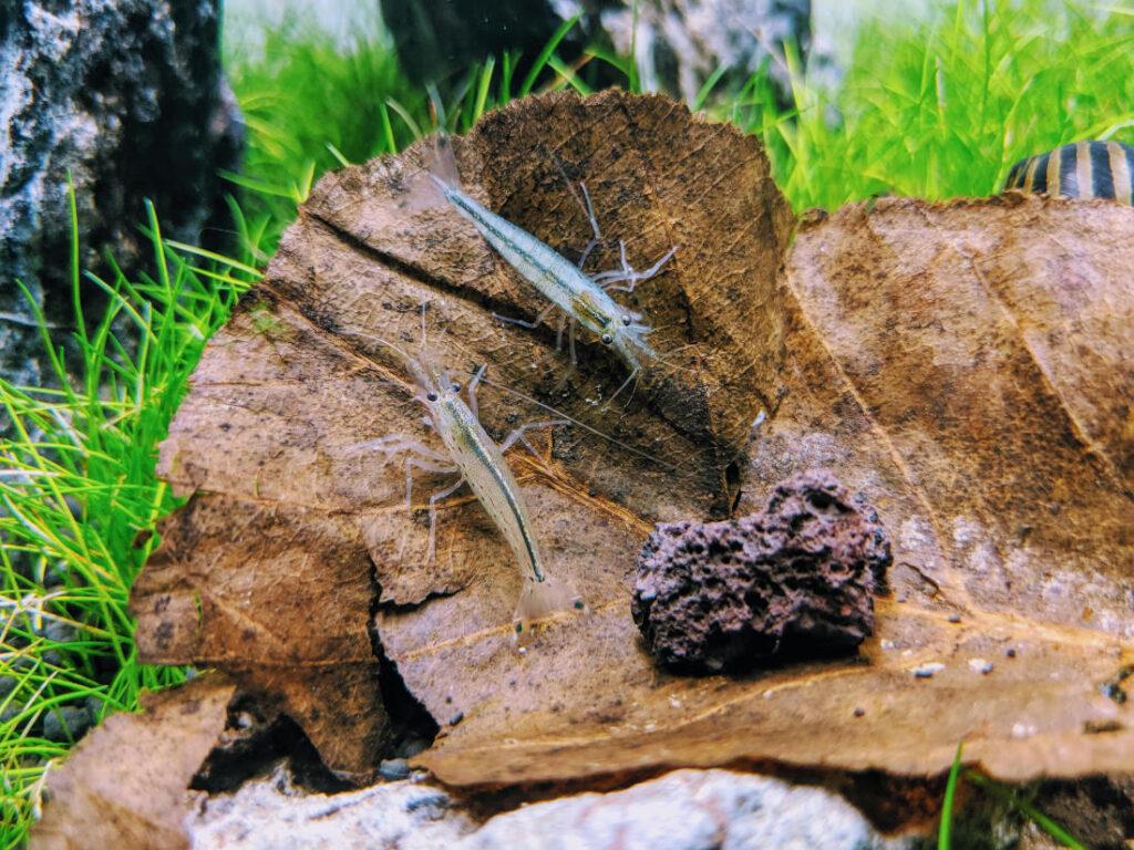 Amanogarnelen auf Seemandelbaumblatt