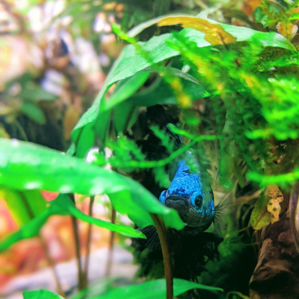 Kampffische zwischen dichtem Pflanzenbewuchs