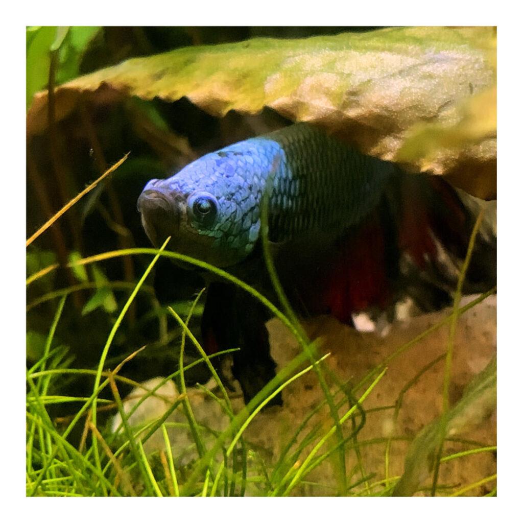 Kampffisch unter einem Blatt einer Cryptocoryne