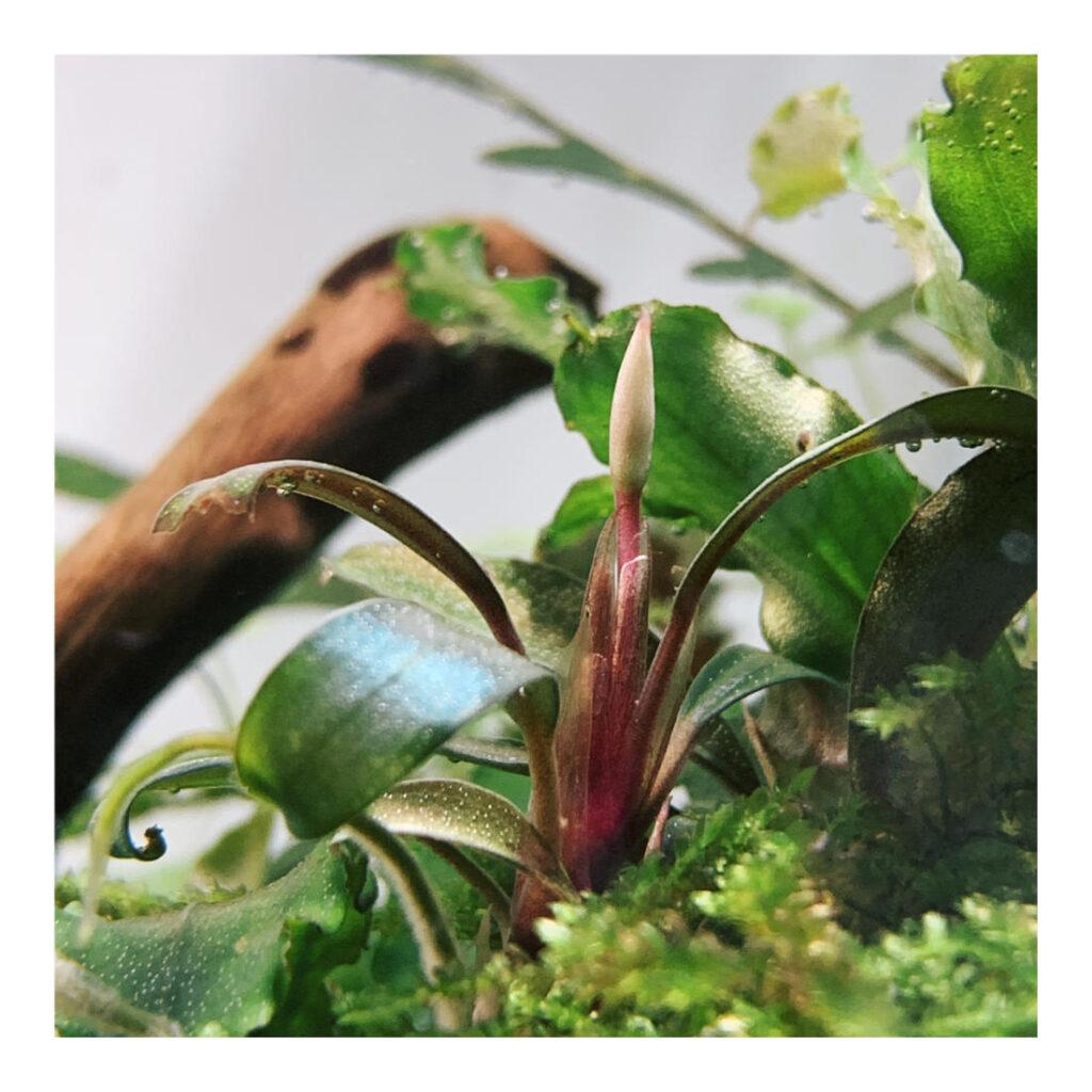 Blühende Bucephalandra serimbu brown