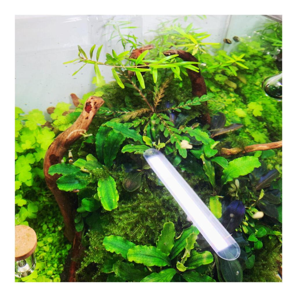 Pflanzen wie Bucephalandra benötigen starke Strömung