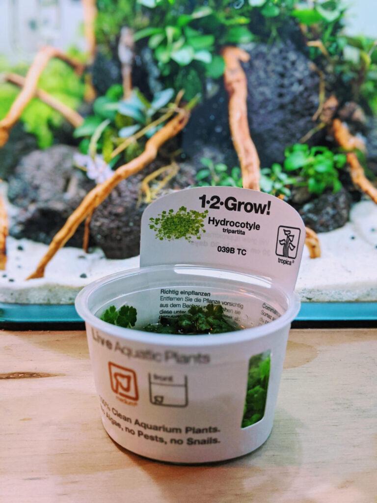 Invitro Pflanze für das Aquarium