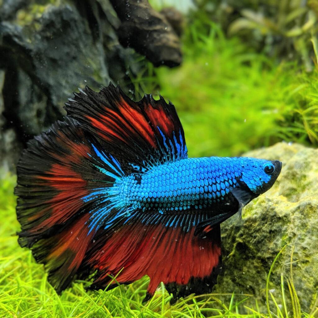 Betta splendens ist ein beliebter Fisch in der Nano Aquaristik