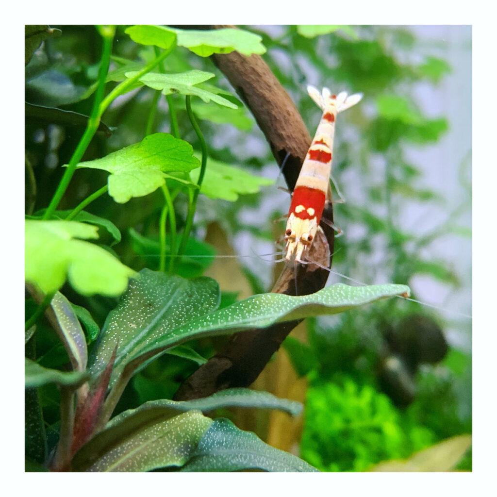Red Bee Garnele